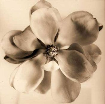 David Halliday Copper Magnolia - shading would make a nice tattoo.