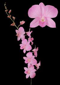 Pink dendrobium orchids: Flower