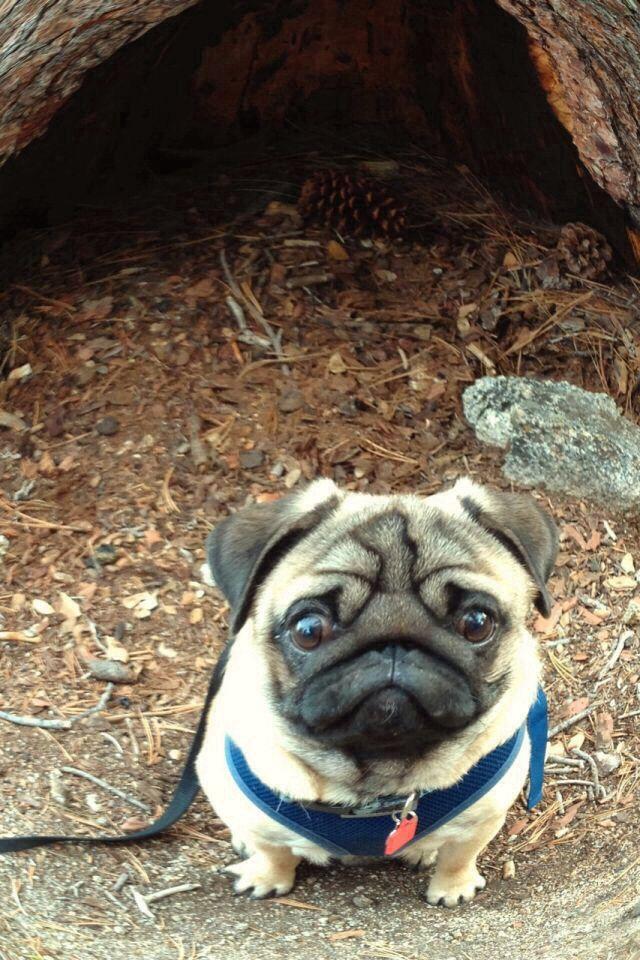 Hey where my nose go ? Oh pug!