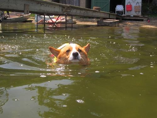 Einey really likes to swim!: Follow Corgi, Corgi Disorders, Obsession Corgi, Corgi Addiction