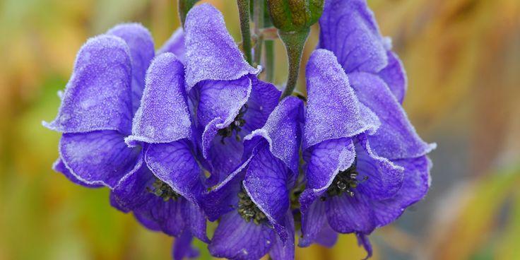 Halsschmerzen: Aconitum | Schluss mit Erkältungen ... | Praxisvita