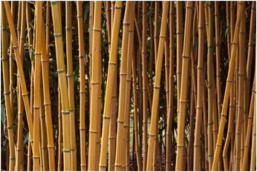 Bambus-Phyllostachys-aureosulcata-Aureocaulis-30-40-cm-Hecke