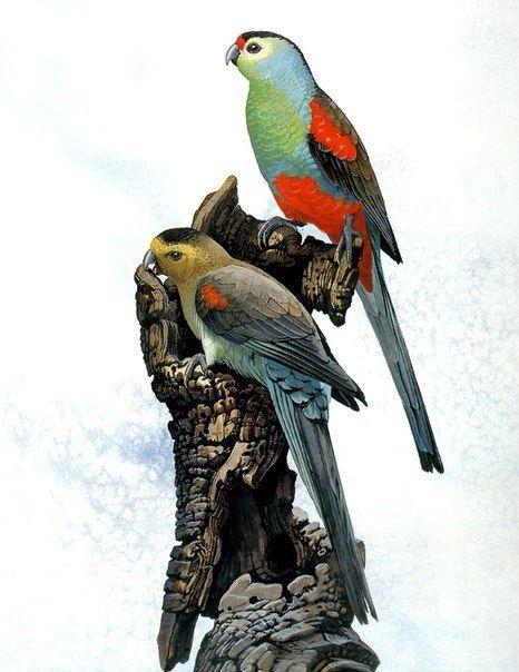 Райский певчий попугай (Psephotus pulcherrimus), северо-восток Австралии. В последний раз встречен в 1927 г; среди главных причин вымирания - подрыв кормовой базы из-за сельскохозяйственной деятельности человека, болезни, ловля и сбор яиц коллекционерами.