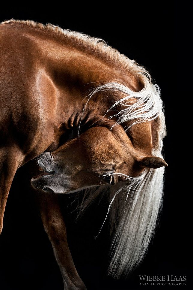 ❥‿↗⁀simply-beautiful-world llbwwb: For the horse lovers:) (via 500px / Mozart I by Wiebke Haas)