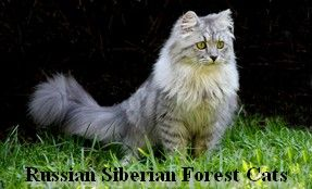 Russian Imported Siberian Cat and Kitten Breeder, Siberian Kittens For Sale.