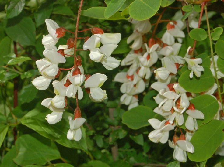 https://flic.kr/p/dDRdwU | Fabaceae - Robinia pseudoacacia | Fabaceae - Robinia pseudoacacia