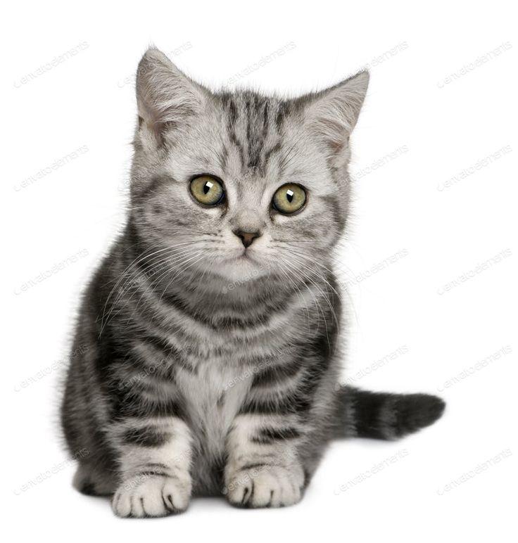 British Shorthair kitten (10 months old) photo by