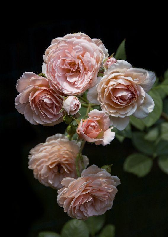 'William Morris' |  Shrub.  English Rose Collection. David C. H. Austin, 1987 | Flickr - ©  Neil Evans