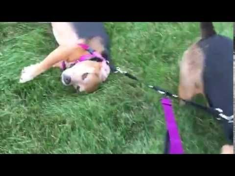 Man's Best Friend Takes Lazy Dog for a Walk!(Why am I not surprised it's a beagle?)