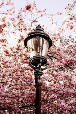 Jonathan Rehn - Narnia. Pink cherry blossoms and vintage streetlight in Kungsträdgården, Stockholm. Available as poster at printler.com, the marketplace for photo art.