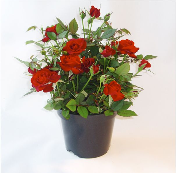 Potted Valentines Red Rose