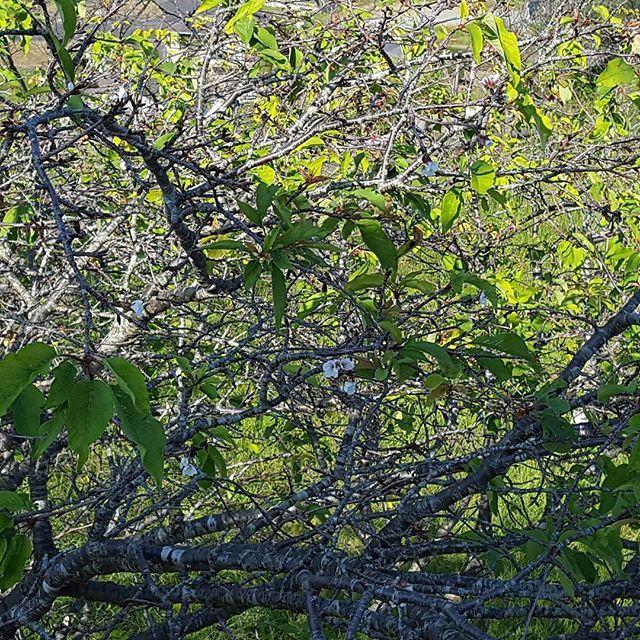 【petitpepin2008】さんのInstagramをピンしています。 《今日は#お兄ちゃん の#サッカー試合 珍しく#応援 来てみた(笑) #加世田運動公園 #遠いわっ  #桜 が咲いてた。 暑かったり寒かったりでおかしくなるよね~》
