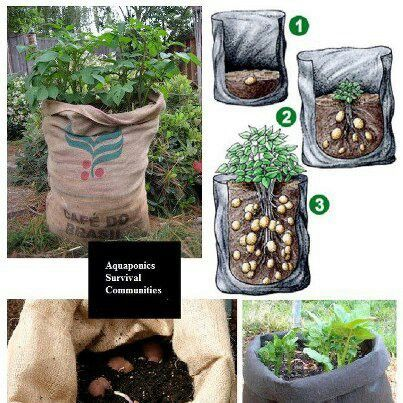 """Growing potatoes in coffee sacks."" Oh my goodness, why did I not think of this sooner?!!!  I have literally got hundreds of these coffee sacks and usually donate them to the animal rescues (and keep some to turn into animal beds/living cocoons for my own rescued/foster animals who come and go), but I still get so many each month and have been at a loss as to what to do with them all.  Now I can grow even more potatoes and other veges or fruit in them and use only half the space…"