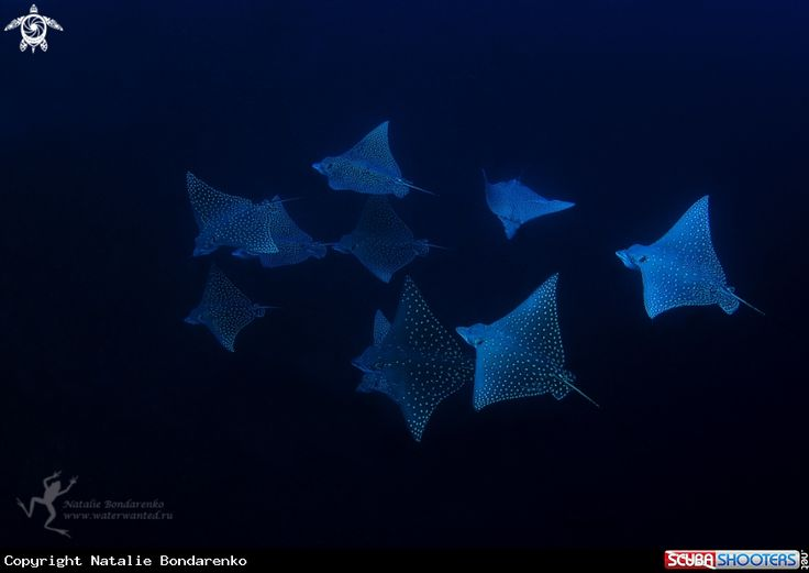 Eagle ray in East Kalimantan - Indonesia