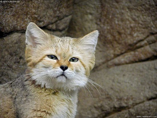 The Sand Cat Also Referred To As The Sand Dune Cat Is