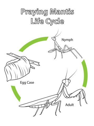 Life Cycle of Praying Mantis coloring page from Praying mantis category. Select from 24104 printable crafts of cartoons, nature, animals, Bible and many more.
