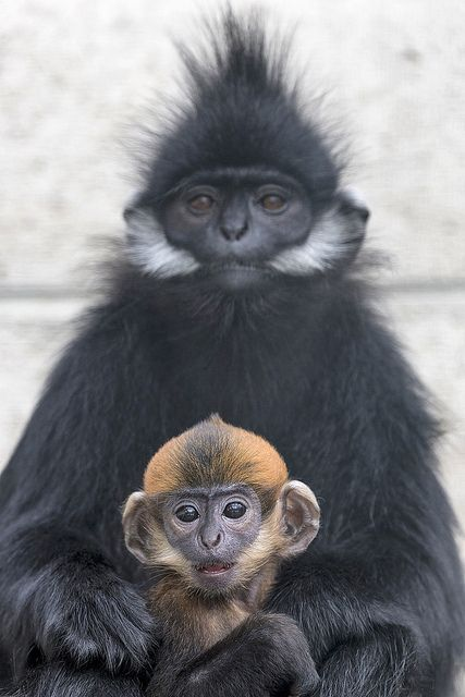 Francois langur mother and baby by Official San Diego Zoo, via Flickr.com