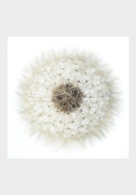 "Photo - ""Dandelion"" by Fabio Zonta BUY IT NOW ON www.dezzy.it!"
