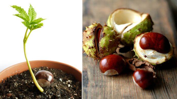 Så odlar du kastanj i kruka | ELLE Decoration