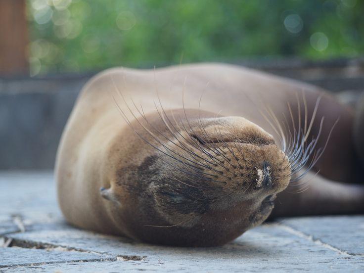 Lazy sea lion, Galapagos