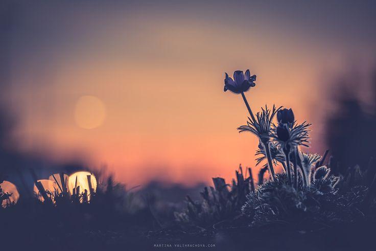 Pulsatilla in evening lights - Pasque Flower, protected plant.