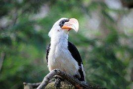Hornbill, Lintu, Trooppinen, Eläintarha