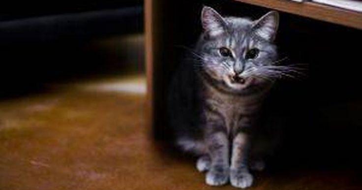 """Sintomas da Raiva no Gato  . A infecção por raiva (hidrofobia) é fatal para os gatos, mas é evitável através da vacinação de rotina contra a doença. Presentes na saliva de um animal infectado, o vírus da raiva é mais freqüentemente transmitido através de uma mordida. Elaine Wexler-Mitchell, DVM, autora do """"Guia Para um Gato saudável"""", aconselha a vacinar um gato no momento em ..."""