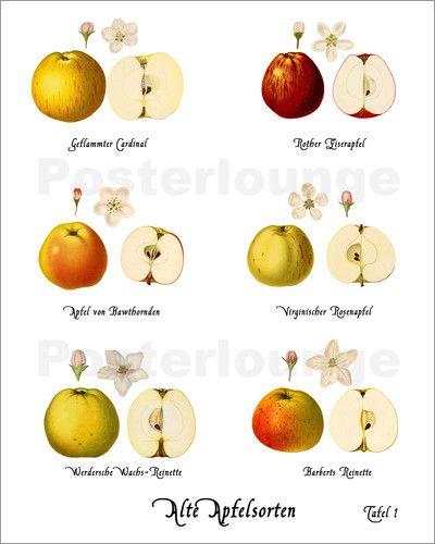 Poster Alte Apfelsorten