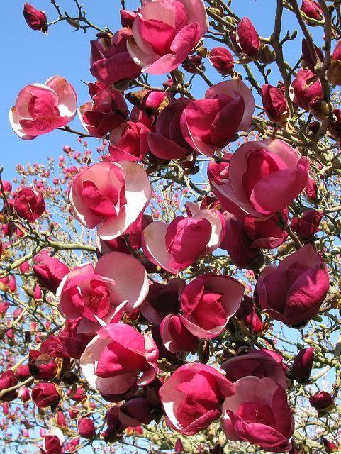 Magnolia Alexandrina.