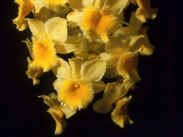Ismerd meg a népszerű orchidea fajokat, és gondozásukat! Összefoglaltuk a Lepkeorchidea, a Catteya, a Cymbidium, a Dendrobium és a Miltonia gondozását.