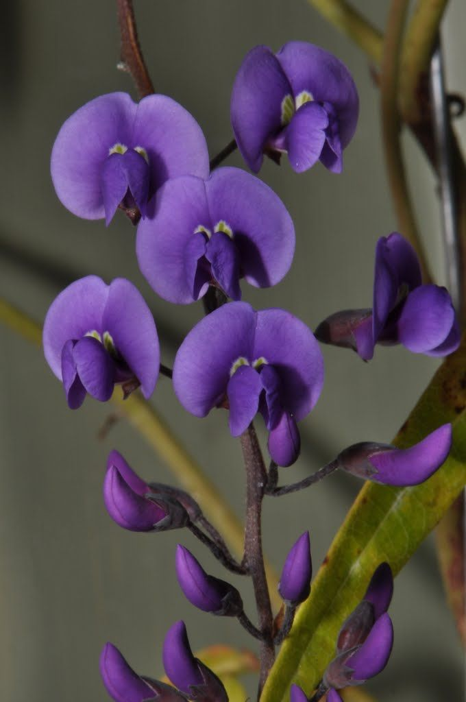Purple snow pea flower