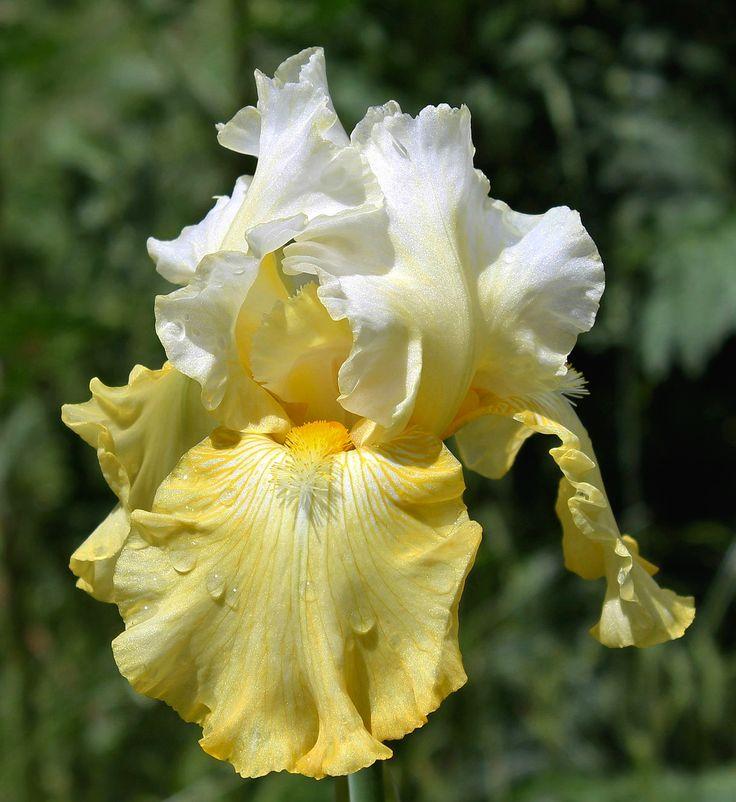 17 best images about bearded irises on pinterest gardens - Iris germanica ...