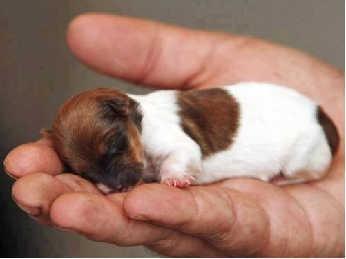 The tiny Jack Russell Chihuahua-cross, aptly named Miracle, is the only one in a litter of five to survive. SO. FREAKING. CUTE.