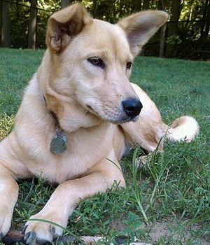 Carolina Dog. Get a Free Consultation for your #dog from our Friends at Nature's Select #Petfood http://naturalpetfooddelivery.com/nsd/usa/free-consultation/