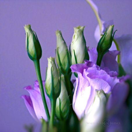 Светло - фиолетовые розы на светло - фиолетовом фоне, фотограф Whitebook