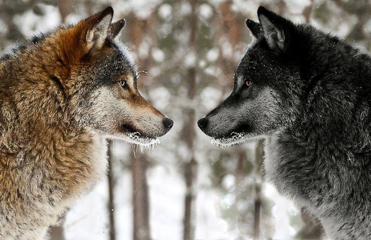 два волка: 21 тыс изображений найдено в Яндекс.Картинках