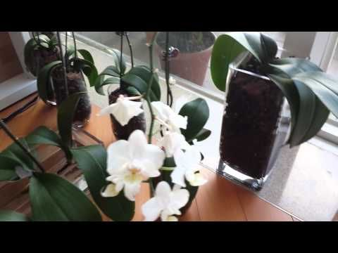 ▶ Phalaenopsis Orchids in water culture (update) - YouTube. Leathery and soft leaves are usually a sign of under-watering or root rot (when roots rot, the orchid can no longer get the water it needs). As a last resort, some folks have had success reviving the orchid through water culture: cutting back rotten roots and then keeping the stem in water to see if it'll develop water roots (do not, however, get water in the crown, where the leaves meet at the top. That's inviting crown rot).