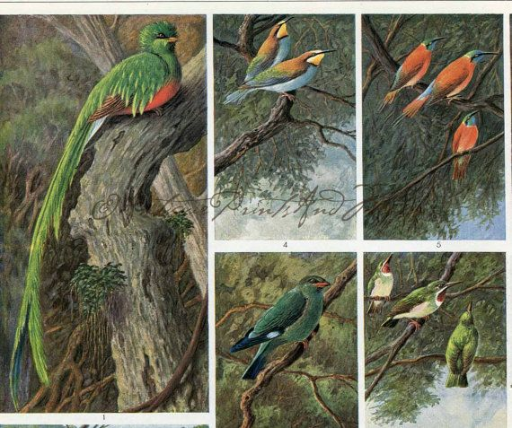Exotic Colorful Birds Resplendent Quetzal European Roller Hoopoe Bee Eater 1930s German Encyclopedia Color Lithograph