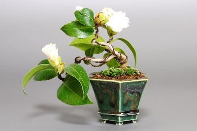 e-盆栽のミニ盆栽ブログ 國井宏: ツバキA(つばき・椿)花もの盆栽の販売