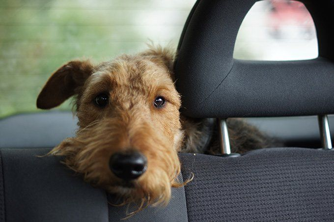 Uber Lyft Taxis With Dogs What Car Services Let You Bring Dogs Cani