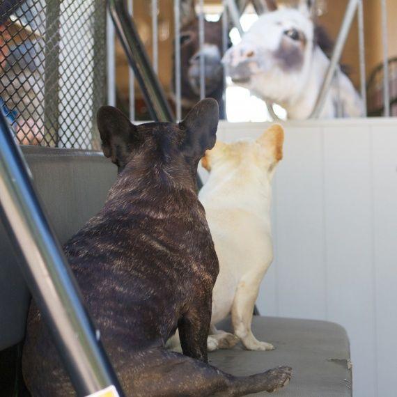 Francesca and Sharkey check in on my donkeys #marthastewartpets