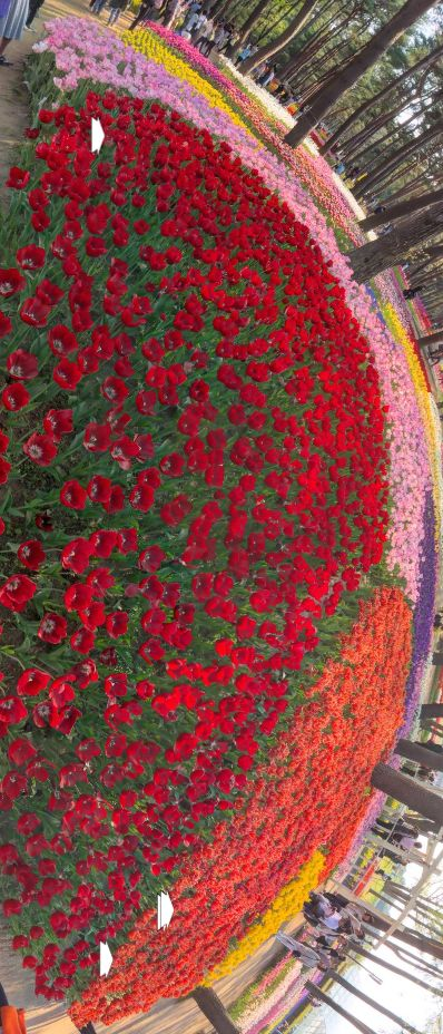 Tulip beds in Hitachi Kaihin park (Japan) by Taro Tsubomura https://www.360cities.net/image/tulip-hitachi-kaihin-park-hitachinaka-ibaraki-japan