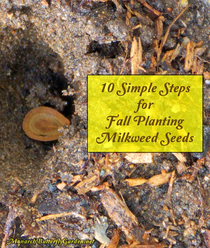 10 Simple Steps for Fall Planting Milkweed Seeds so that Father Winter takes care of the Cold Moist Stratification your seeds need to Sprout Next Spring.