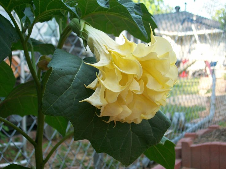 Double ruffled yellow Angels Trumpet.
