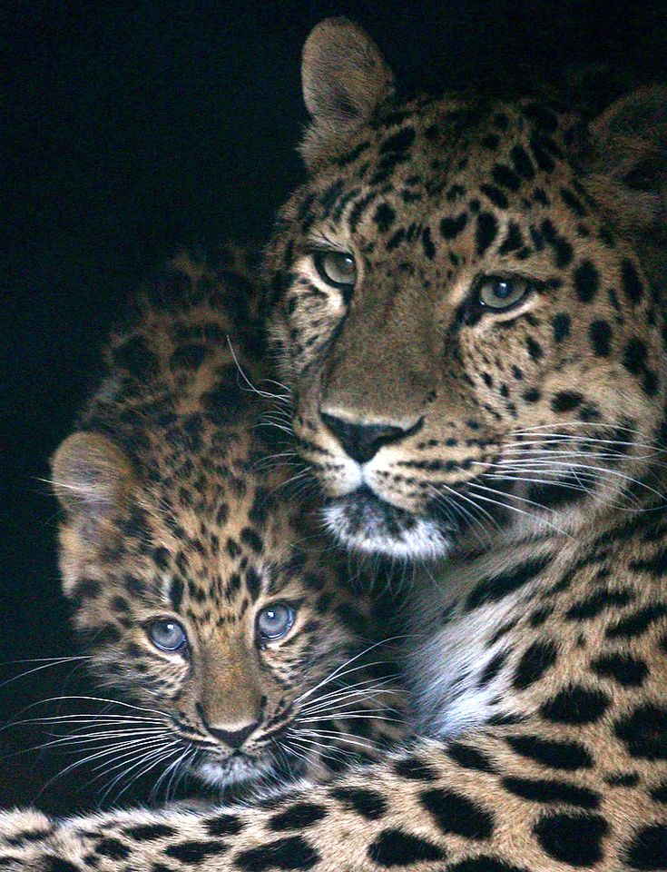 The Amur Leopard cub, cuddles up to its mother Ascha in the Marwell Zoo in Hampshire. (read more)