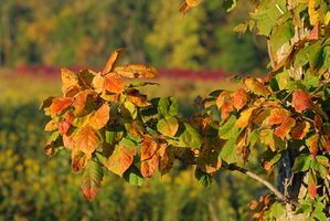 How to Tell If a Leaf Is Poison Oak thumbnail