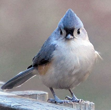 We used to see the Tufted Titmouse regularly in Virginia. I've not seen one in Texas yet.  They are acrobatic foragers.