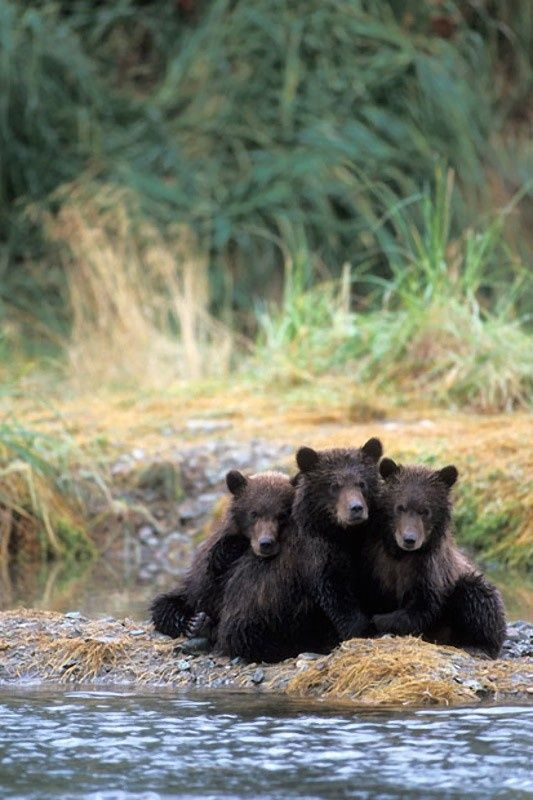 "★ℒ Three Bears: ""I don't think we'll find Goldilocks here!"" ★                                                                                                                                                                                 More"