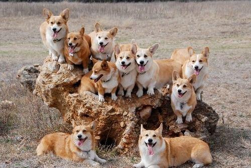 how many corgis can you put on a rock? … 8 with 2 on standby!Sheep Dogs, Corgis Pack, Welsh Corgis, Dreams Come True, Pack O' Corgis, Corgis Disorder, Obsession Corgis, Families Portraits, Cute Dogs