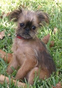 Brussels Griffon Dogs| Brussels Griffon Dog Breed Info & Pictures | petMD